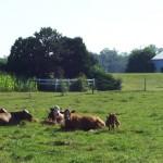 Livestock I